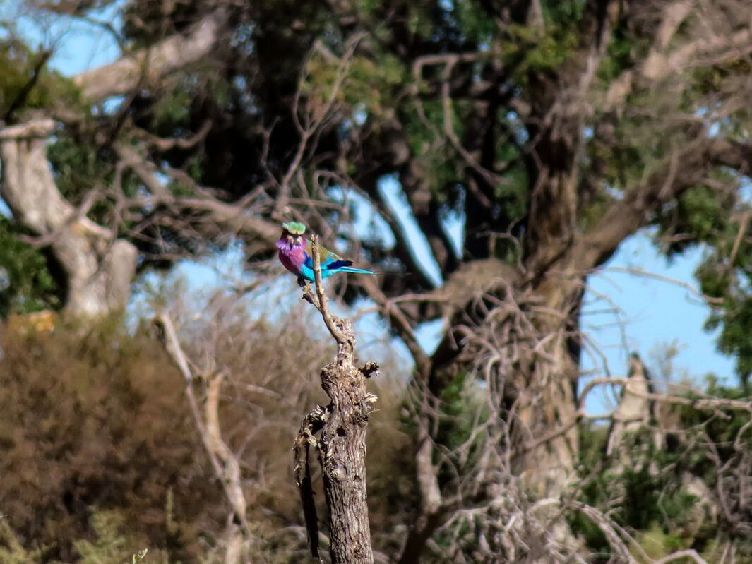 lilac-breasted roller perching on a branch in the Okavango Delta in Botswana.