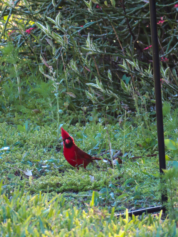 northern cardinal on the ground in Parrish, Florida
