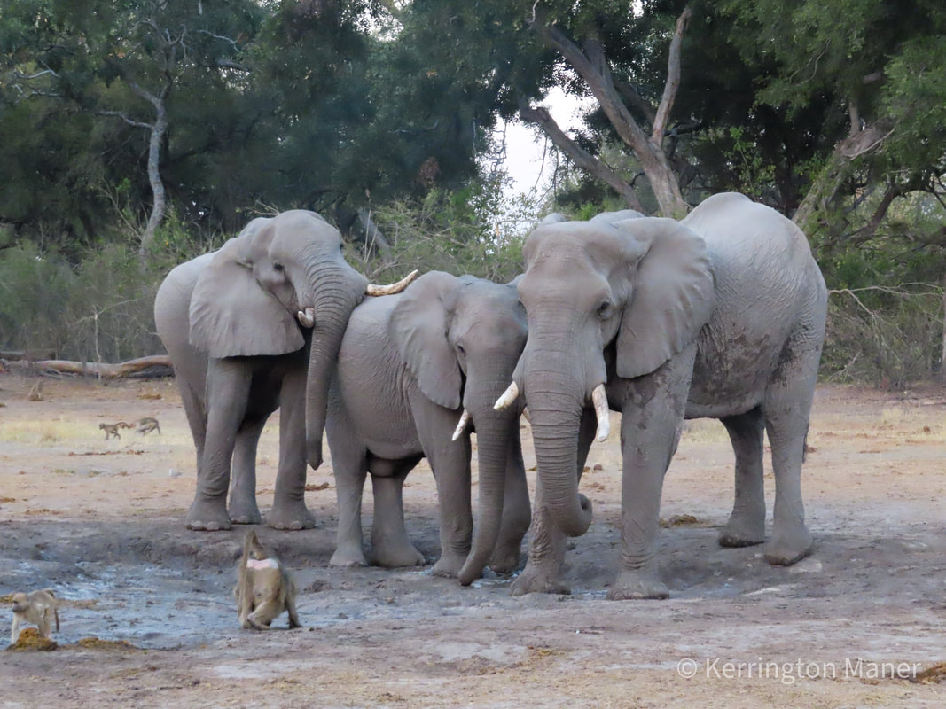 three elephants and some baboons at a watering hole in the Okavango Delta in Botswana